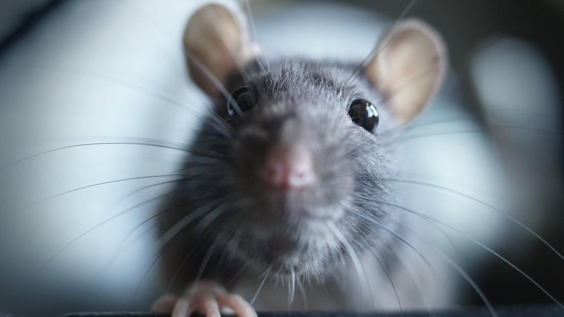 rat restaurant